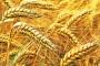 Climate change hits Bangladesh wheat production hard
