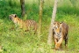 Tiger population in Sundarbans rises to 114