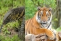 Tiger dies after eating monitor lizard in Gazipur safari park