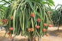 Dragon fruit farming prospect bright in Rajshahi region