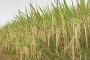 Bumper output likely as Aman rice harvest gets momentum