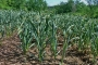 Jashore farmers eye bumper garlic yield