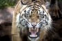 Two 'poachers' killed in tiger attack in Sundarbans