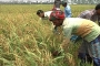 Boro rice cultivation gets momentum in Rangpur region