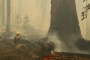 Firefighters race to protect giant sequoias in California fires